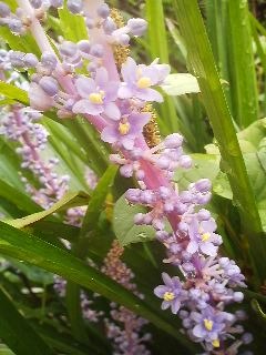 A closer look at the YABURAN flowers