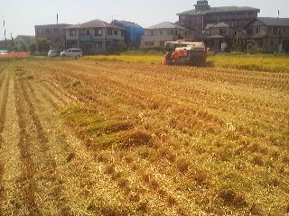 Finishing up the last bit of the rice harvest in  Matsushiro, Tsukuba- just a short wlak from the TX Tsukuba Terminal (September 16th 2014)
