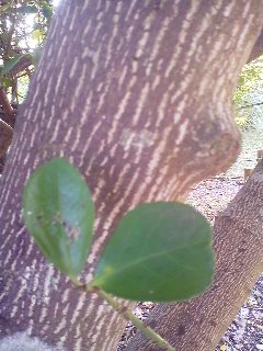 The leaves and bark of the GONZUI tree