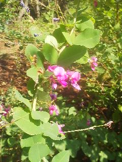 Close-up of the flowers on a HAGI (bush clover) bush in Tsukuba (September 9, 2014)