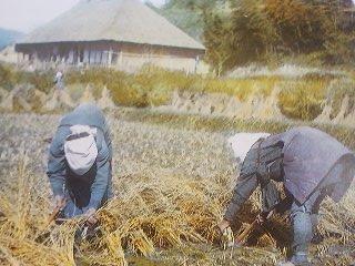 Harvesting rice (1890)
