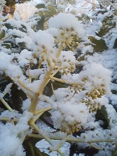 Fatsia flowers covered in a light snow (Jan. 2014)