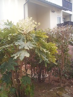 A Fatsia in front of a Japanese home Its uniquely shaped white flowers bloom in winter