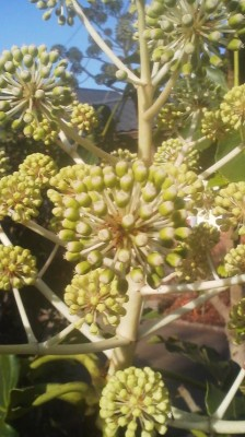 Close-up of FATSIA flowers