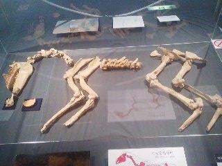 The bones on display at the archaeology museum at Kamitakatsu, Tsuchiura