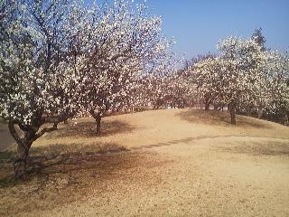 Who needs to go all the way to Mito`s famous Kairakuen Garden? You can satisfy your plum blossom lust right here in Tsukuba at one of the small parks in the Umezono neighborhood (March 18, 2014)