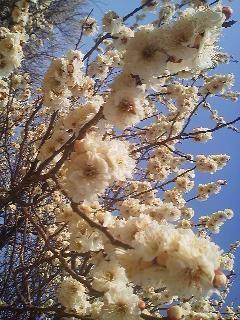 Plum blossoms in Umezono, Tsukuba (March 2014)