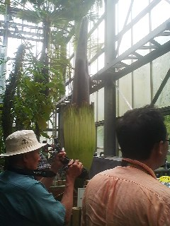 Amorphophallus titanium on July 3rd 2014- specialist at the Tsukuba Botanical say the huge flower will about late tonight *after opening hours ( but can probably be viewed for the next three days -its usual blooming period