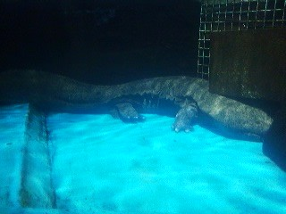 Rescued from the roadside in Ishiku, this giant salamander now calls the Kasmigaura Aquarium its home