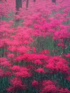 A famous spot for spider-lily viewing- KINCHAKUDA (巾着田) in Saitama Prefecture