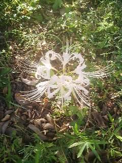 White spider-lily at the Hyakka-en Flower Garden in Tokyo