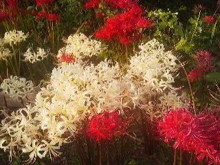 Red and white spider-lilies (HIGAN BANA) grow in a cluster outside a graveyard in Teshirogi, Tsukuba (September 23, 2014)