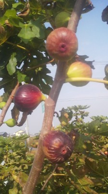 Figs ready for the picking by the side of the road in Tsukuba