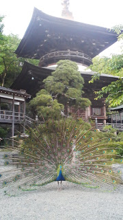 A peacock on the grounds of the Shingon Temple Amabiki Kannon near Tsukuba