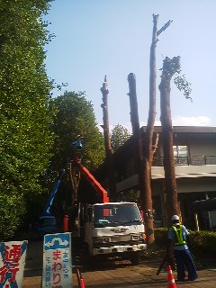 "These trees would eventually be COMPLETELY REMOVED leaving only lonrly stumps. When I asked one gentleman (probably in his late 60`s) how many more trees they would be cutting down, I thought he was sharing the same concerns as I was feeling. Instead, he said (to my surprise and consternation): ""I hope they cut them all down ! They`re dangerous ! """