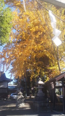 A grand old gingko tree at the Yasaka Jinja Shrine in Karima, Tsukuba- the fallen leaves have been swept away for the SHICHI GO SAN Festival (November 15, 2014)