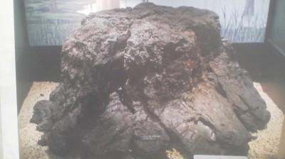 Metasequoia fossil