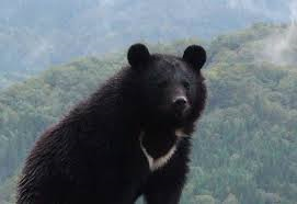 A Japanese black bear (tsukinowguma)- from the Iwate Prefecture Homepage