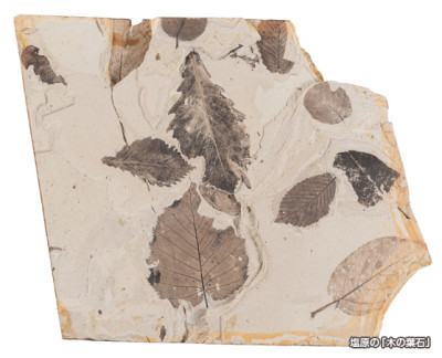 Slab of rock replete with fossilized leaves (from Shibara in Tochigi Prefecture)
