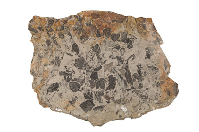 Slab of rock filled with leaf fossils