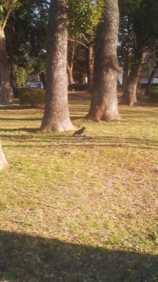 Crow pinning down a pigeon at Ueno Park just across the street from the entrance to National Museum