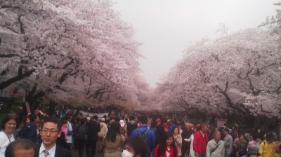 Between Ueno Station and the National Museum I passed by the cherry trees in full-bloom