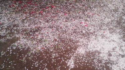 Cherry blossom petal mingle on the ground with fallen camelia flowers