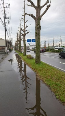 The gingko trees along the Tsuchiura-Gakuen Road after the tree-trimmers got to them - April 18, 2018