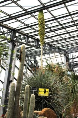 The Tsukuba Botanical Garden has been very crowded this past week- and its not the Rare Plant Exhibition (or not that alone) For the second time since its arrival in Tsukuba in 1986, this 5 meter tall Darylirion Wheeleri has bloomed- an event which has received extensive coverage in the press