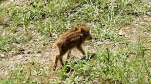 Baby boar (uribo-)