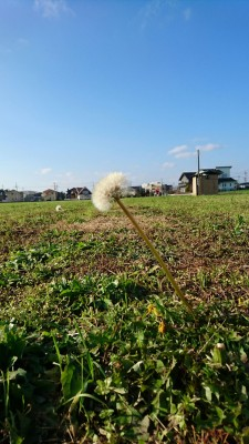 Dandelion seed-fluff on December 12th 2015