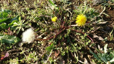 Dandelions in bloom in Karima, Tsukuba (December 12th 2015)