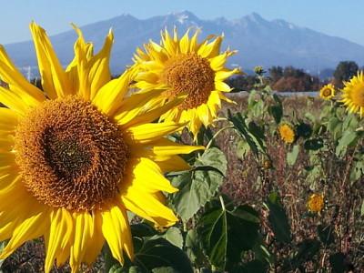 Sunflowers in Yamanashi Prefecture