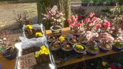 Auspicious plants for the new year - FUKUJU-SO (adonis) and plum blossoms, on sale at the festival