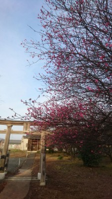 Plum blossoms in bloom at the Tenjin Shrine in Kurihara,Tsukuba (Feb. 14th 2016)