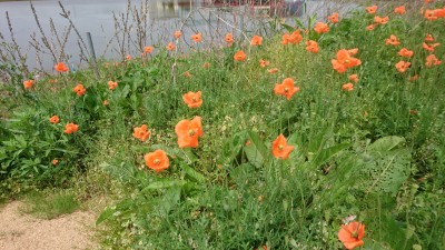Long-headed poppies ( or blind eyes) were first recorded blooming in Japan back in 1961 in Setagaya Ward Tokyo.