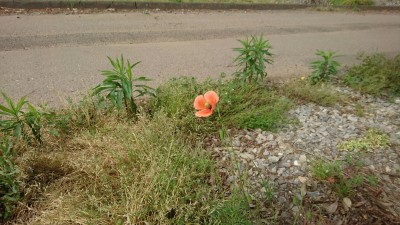 A roadside blind-eye (long-headed poppy) in Teshirogi, Tsukuba