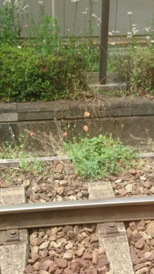 Just after posting this I went into Tokyo and took the street-car from Minowa to Waseda University - a pleasant ride - with the tracks adprned for most of the way with long-headed poppies