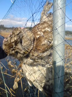 A Ural owl (fukuro-) dead in the nets at one of Tsuchiura City`s lotus root fields. This season, thousands of water birds, mostly ducks and coots, get caught in the nets EVERY DAY.