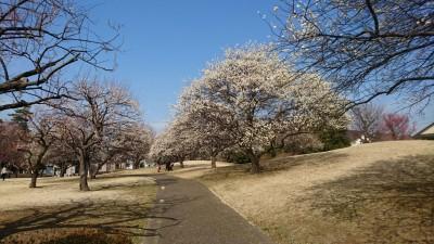 White and pink plum blossoms at Umezono Park in Tsukuba (February 20, 2017)
