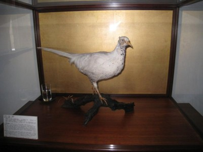 White pheasants (hakuchi) are rare and considered very auspicious. In fact, when one was spotted during the reign of Emperor Kotoku in the 7th century, the NENGO (reign name) was changed to Hakuchi (白雉)