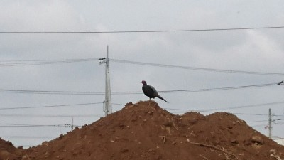 A bewildered pheasant sits atop a pile of dirt after the the fields I had usually seen in foraging in were bulldozed over in preparation for some more construction (Yatabe, Tsukuba)
