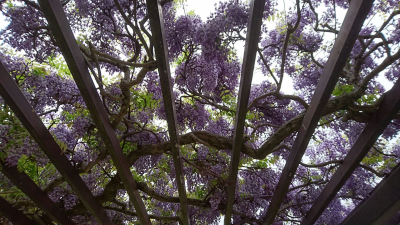 Under a wistaria trellis, thick with the smell of its nectar and a buzz with the droning o fbees (April 17, 2018)