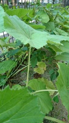 Fuki in my neighbors garden