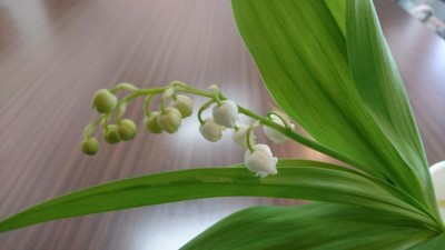 As one of the oustanding flowers of the season, the deliciously fragrant lily of the valley (suzuran, in Japanese) has been associated with May Day - especially in France where May 1 is apparently also called La Fete du Muguet - Lily of the Valley Day. These this was presented to me as a May Day gift - May 1st 2017 one group that joined today`s demonstrations.
