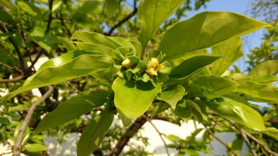 Kaki no hana - flowers of the persimmon tree (Matsushiro, Tsukuba - 2017)