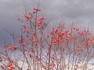 A kaki tree in late autumn
