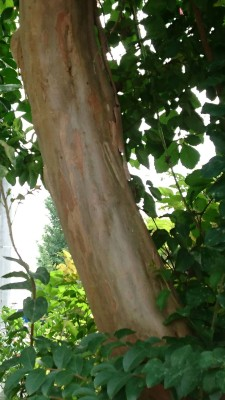 The sarusuberi trees have distinctive trunks, so slippery that not even a monkey could climb (thus its Japanese name: the Monkey Slip Tree). The trunks look more like plastic.. or varnished wood than natural wood.