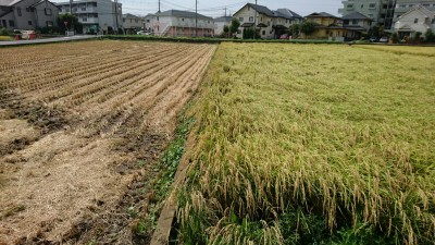 The rice on the right knocked flat by a late August typhoon (2018)