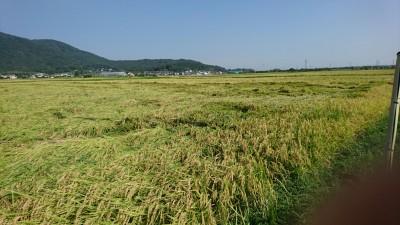 Rice knocked over by a typhoon (Oda, Tsukuba) 2018